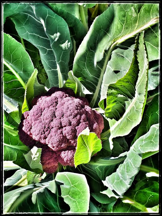 the purple cauliflower
